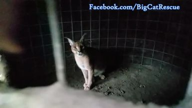 Chaos Caracal is hanging out in her den to stay dry.