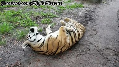 Jasmine Tiger all sprawled out waiting for the rain