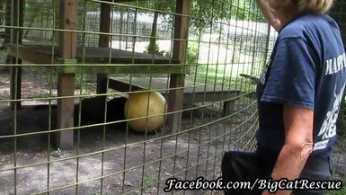 """Jinx, the black leopard, decided he wanted to eat his """"chicksicle"""" in private today."""