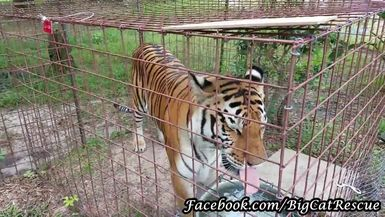 Dutchess Tiger being cute with Keeper Erin
