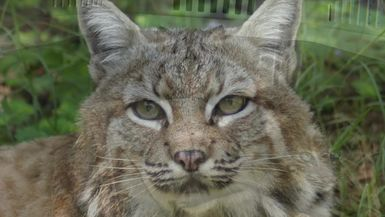 Rehab Bobcats: Meet Rain And Dancer