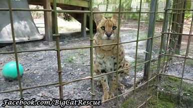 Wow! Keeper Marie actually got video of Kricket Serval NOT hissing!