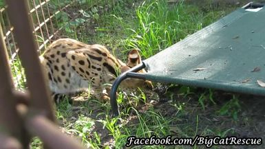 Here's a beautiful close up of our newest serval, Illithia, courtesy of Keeper Mary Lou.