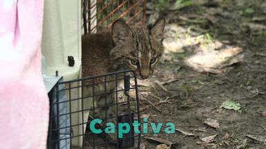 2014 Rehab Bobcat Kittens: Phoenix and Captiva