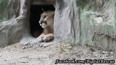 Ares Cougar can't decide whether to play peek-a-boo, hide, or ignore Keeper Marie.