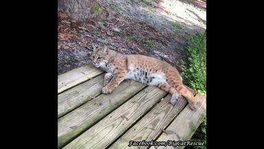 Here's cute little Smalls Bobcat just hanging out on her platform taking in all the sounds around t