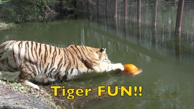 Ball + Pumpkin = Tiger FUN!!