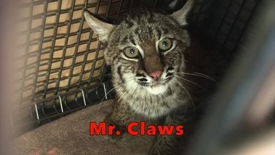 Rehab BOBCAT KITTENS: Meet Mr. And Mrs. Claws