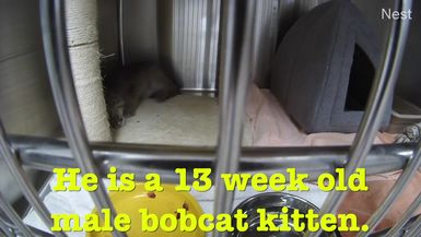 Baby Bobcat Needs Our Help!