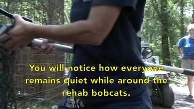 Rehab Bobcat Kittens Get Vaccinated