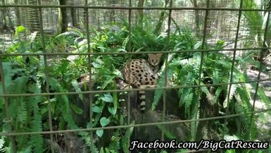 Keeper Marie is having a little chat with Nala Serval who is on top of her very lush den.