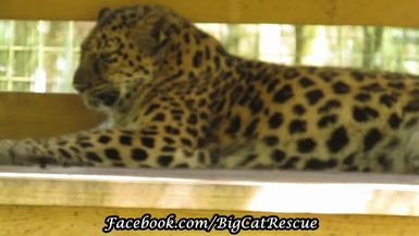 Beautiful Natalia, the Amur Leopard, is hanging out in the heat.