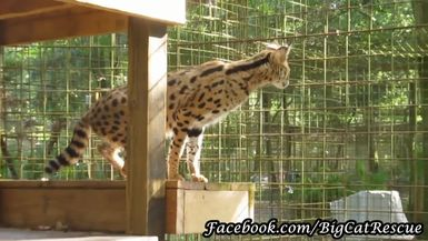 Illithia, our newest Serval, is settling in nicely and getting used to the routines around the sanc
