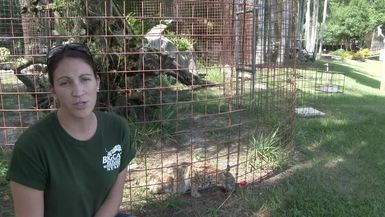 Our Efforts To Save A Wild Bobcat