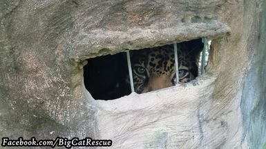 Peekaboo with Manny Jaguar!