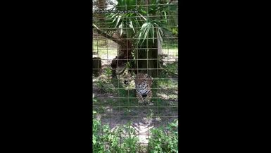 Manny Jaguar is stalking Keeper Bonnie to try to get a bloodsicle!