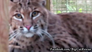 Ariel Bobcat close-up! Love her bright pink nose.
