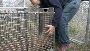Cooper The Rehab Bobcat's Release Day