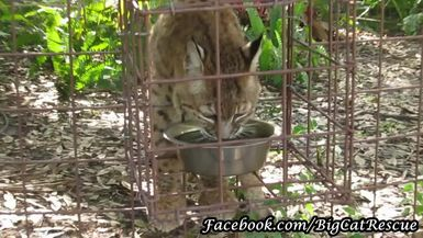 Adorable little Breezy Bobcat is getting a drink of water.
