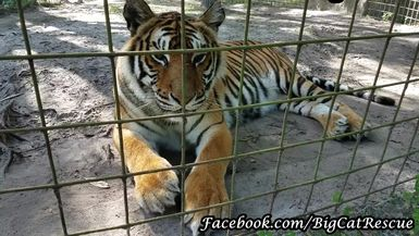 Keeper Marie discussing Priya's full tummy. I just can't get enough of her tiger moos!