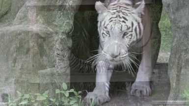 New White Tiger At Big Cat Rescue