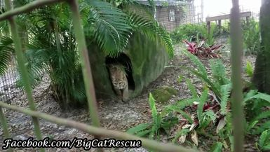 Breezy Bobcat hanging out with Keeper Bridget