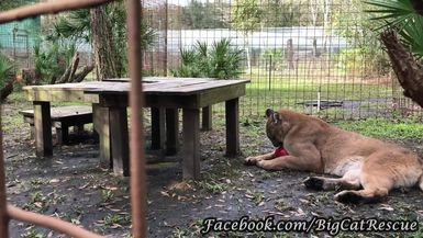 Orion is chewing and then playing with his red ball, but keep an eye out for Ares