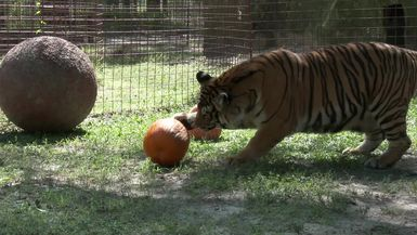 A Tiger's First Pumpkin