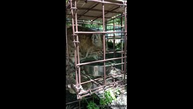 In this older video, Miss Breezy Bobcat gets a LONG drink of water on a hot day.