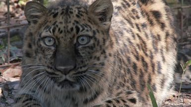 Big Cat Rescue Takes In a Jaguar And Rare Amur Leopard