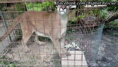 Ares and Orion each get a sicle treat! Turn up the volume to hear those awesome cougar purrs!