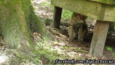 Here's a peek and shy Ariel Bobcat.