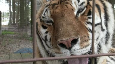 Saying Goodbye to Nakita Tiger