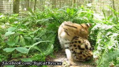 Nala Serval's tail is misbehaving today!