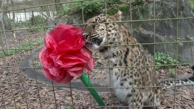Love Is In The Air At Big Cat Rescue