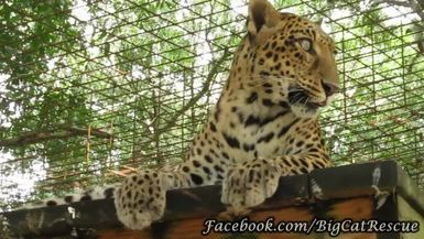 Close-up clips of beautiful Sundari Leopard.