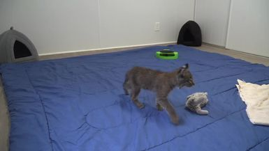 Rehab Bobcat Kitten, Flint, doing better