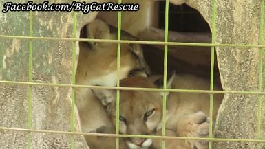 Master Keeper MaryLou discovered this cute little snuggle pile of cougar cubs in their den