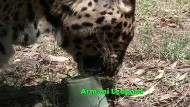 Big Cats Get Green Popsicles For St. Patrick's Day