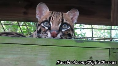 The illusive PurrFection Ocelot loves peering down on the world from atop her wooden platform.