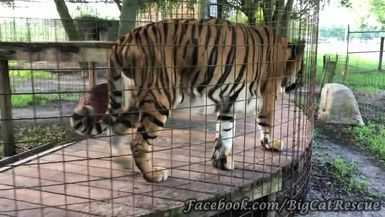 Here's a good look at our handsome Hoover Tiger and his adorable curled tail!
