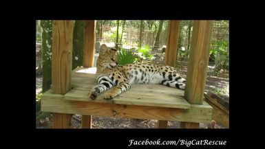 Keeper MaryLou shows us a close-up of beautiful Ginger Serval.