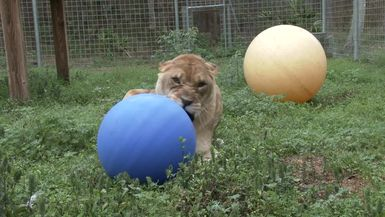 Lion And Tiger Cubs Feat. Jackson Galaxy
