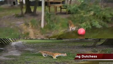 BIG Tiger VS BIG Red Ball