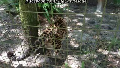 SUPPORTERS ONLY - Natalia, the Amur leopard, is so excited about maybe getting a sicle that she's