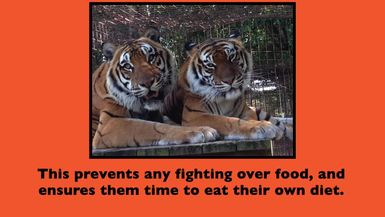 Feeding The Texas Tigers