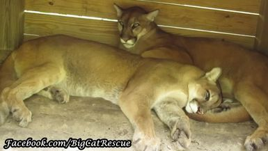 It's a cougar snuggle pile with brothers Ares and Orion. How cute is that!
