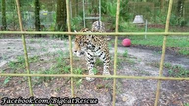 Manny Jaguar gets a teensy weensy treat from Keeper Marie!