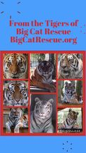 Good morning Big Cat Rescue Friends!