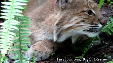 Frankie Bobcat close-up! See the 2 whiskers that start out black and turn to white?